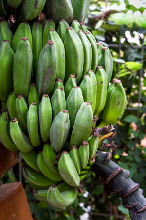 utopia: Bunch of ripening bananas in Utopia Orchid Park, Israel Stock Photo