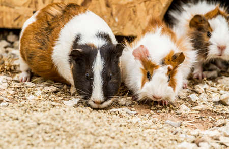 cavie: Three spotted guinea pigs sitting near its house