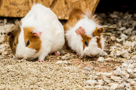 cavie: Two spotted guinea pigs sitting near its house Archivio Fotografico