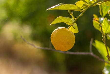 israel agriculture: Ripe lemon hanging on a branch in the sunlight, blurred background Stock Photo