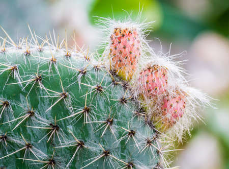 hairy pear: Green prickly cactus with pink hairy fruits, close up