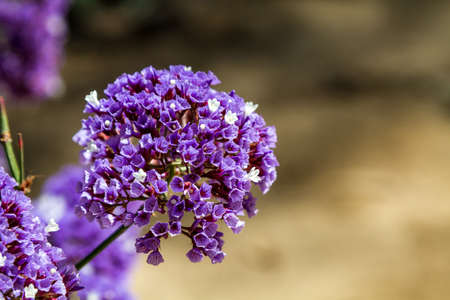 globular: Flora of Israel, Lilac flower garden, little purple and white flowers collected in globular inflorescence