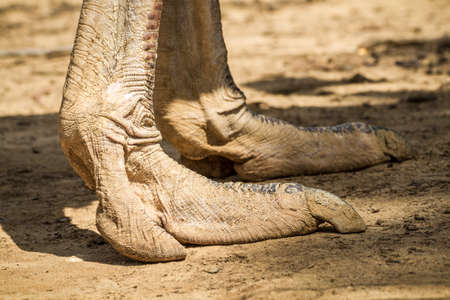 biped: The ostrich Legs, ostrich farm in the desert, Israel. Close-up Stock Photo
