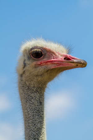 biped: The head of an ostrich, ostrich farm in the desert, Israel. Close-up Stock Photo