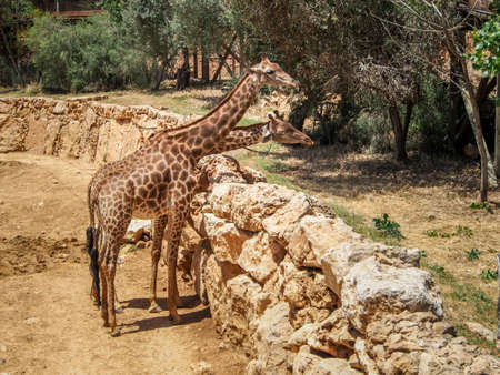 zoological: Giraffes in Jerusalem Biblical Zoo or The Tisch Family Zoological Gardens, Israel Stock Photo