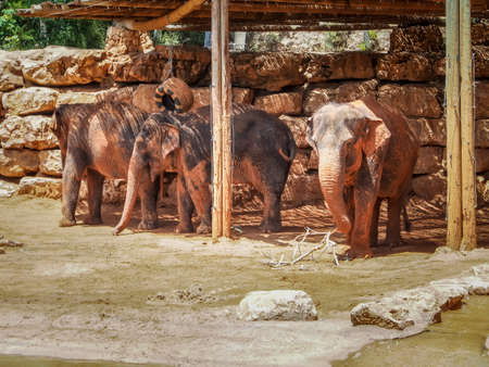 zoological: Asian elephants in Jerusalem Biblical Zoo or The Tisch Family Zoological Gardens, Israel Stock Photo