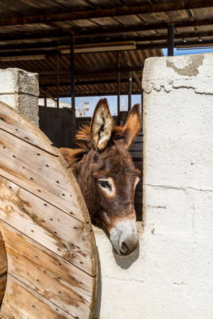 The brown domesticated donkey standing in the corral, looking out of a stall, farm in Israel