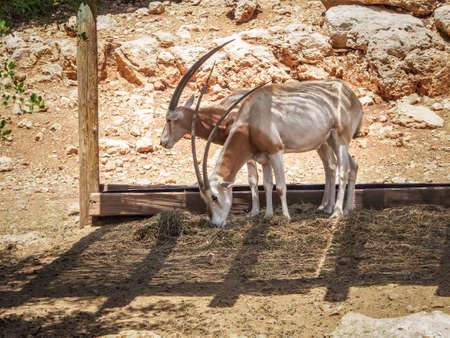zoological: Scimitar oryx or Sahara oryx in Jerusalem Biblical Zoo or The Tisch Family Zoological Gardens, Israel
