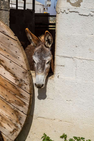 domesticated: The brown domesticated donkey standing in the corral, looking out of a stall, farm in Israel