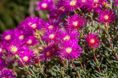 magenta flowers: Lampranthus - magenta flowers with succulent leaves, hardy ice plant genus in the family Aizoaceae, flowering plants in parks of Israel