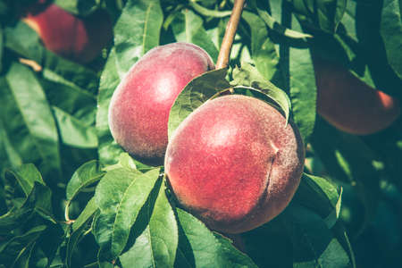 Ripening peach fruits hanging on a branch in the sunlight. Selected focus Stock Photo