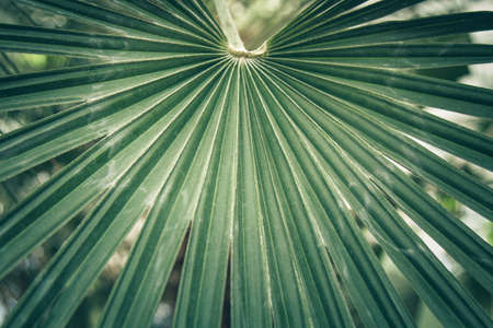 palmate: Fan leaf of a sabal palm also known as cabbage palmetto. Close-up, selected focus Stock Photo