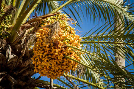 unripened: The date palm with bunches of ripening fruits on blue sky background. Close-up, selected focus