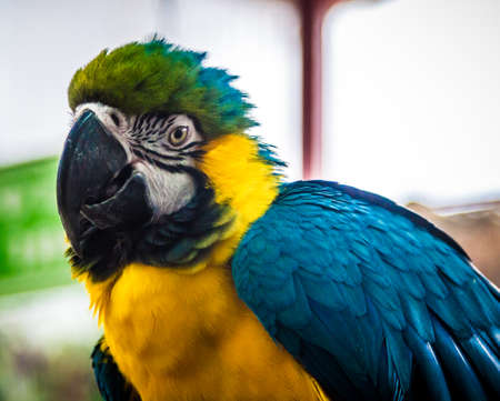vividly: Macaw parrot, blue-and-yellow or blue-and-gold macaw, large South American parrot, close-up