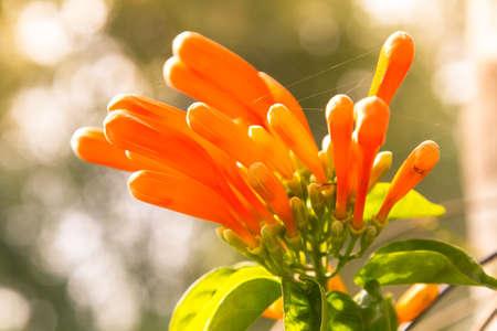 Pyrostegia venusta, flamevine or orange trumpetvine, climbing shrub with bright orange tubular flowers. Closeup, selected focus, background bokeh