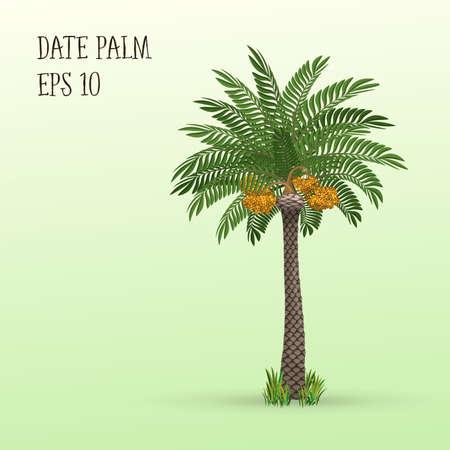 Date de palmier avec des fruits mûrs dates. Vector illustration