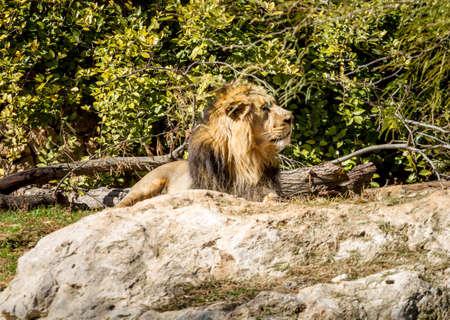 JERUSALEM, ISRAEL - JANUARY 23: The Asiatic Lion lying on stone in Biblical Zoo in Jerusalem, Israel on January 23, 2017
