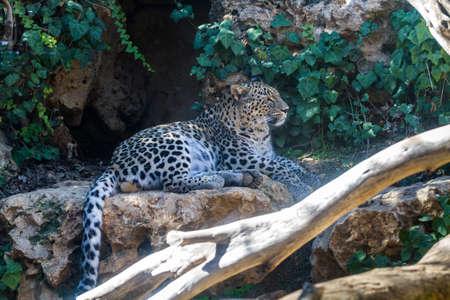 JERUSALEM, ISRAEL - JANUARY 23: The Persian Leopard lying on stone in Biblical Zoo in Jerusalem, Israel on January 23, 2017