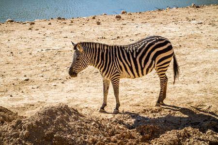 JERUSALEM, ISRAEL - JANUARY 23: Zebra in Biblical Zoo in Jerusalem, Israel on January 23, 2017