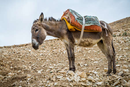 Saddled donkey stands in mountain area, the Wadi Qelt in the north of the Judean Desert, Israel Stock Photo