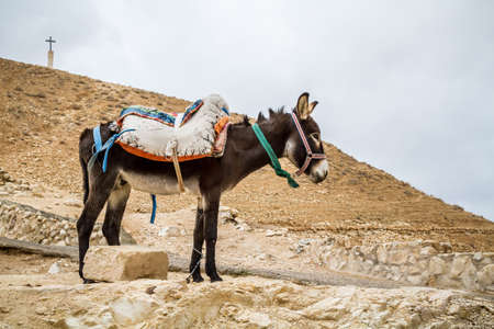 Brown saddled donkey stands in mountain area, the Wadi Qelt in the north of the Judean Desert, Israel Stock Photo