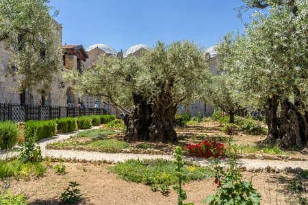 Der Garten Gethsemane in der Nähe der Kirche aller Nationen auf dem Ölberg in Jerusalem, Israel Standard-Bild - 81230875