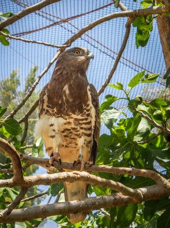 aviary: The lesser kestrel, Jerusalem Biblical Zoo in Israel Editorial