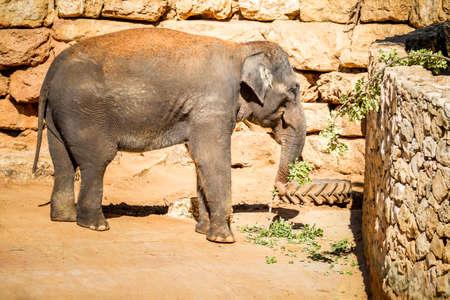JERUSALEM, ISRAEL - JANUARY 23: The Asian elephant, Biblical Zoo in Jerusalem, Israel on January 23, 2017
