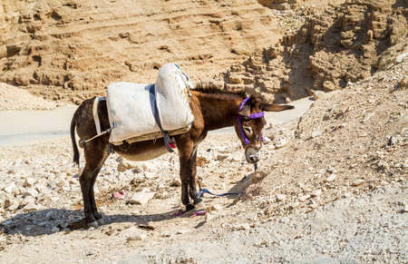Bedouin Donkey in the Judean Desert in Wadi Qelt near Jericho in Holy Land, Israel