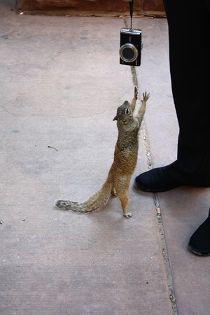 A squirrel trying to catch a digital camera at Zion National Park