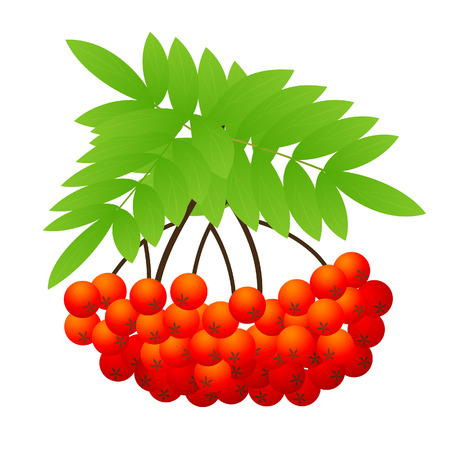 ashberry: Ashberry, vector illustration, EPS file included