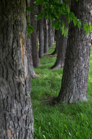 maple trees: Maple trees