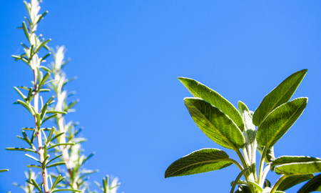 Aromatic herbs salvia and rosemary with a blue sky in the background Banque d'images - 112445452