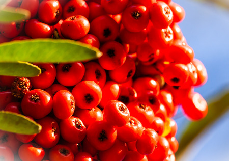 a branch of pyracantha with red berries in autumn in Vence France Banque d'images - 111525408