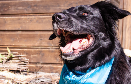 a black dog with open mouth and a blue bandana Banque d'images - 111525412