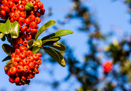 a branch of pyracantha with red berries in autumn in Vence France Banque d'images - 121045616