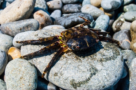 The wounded lay on the stone crab. The beach of the Black Sea coast. photo