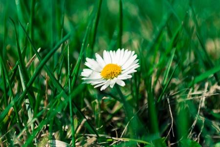 Little daisy growing in green grass  photo