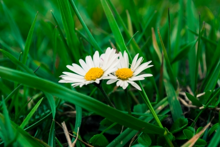 Little daisies growing in green grass  photo