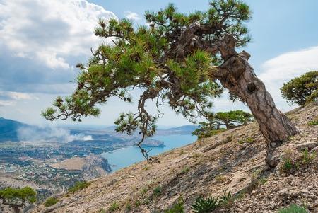 rocky mountain juniper: Beautiful conifer tree on mountainside. Warm sea landscape