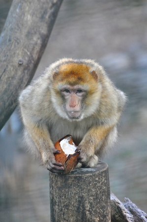 Monkey with coconut photo