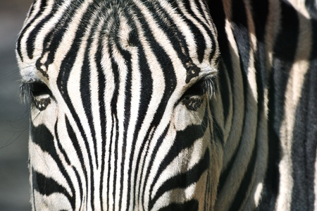 sripes: Zebra portrait