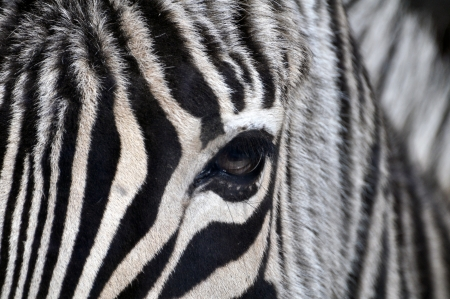 Zebra portrait photo