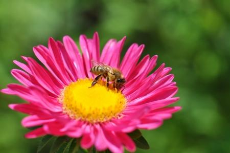 Mogeln Sie Biene auf einer Blume