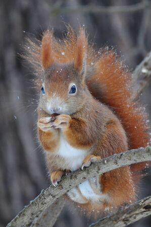 Red Squirrel Stock Photo - 18343200