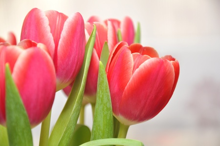 Beautiful tulips Stock Photo - 18540559