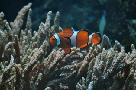 Anemone fish, clown fish Stock Photo - 18751884