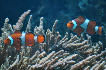 Anemone fish, clown fish Stock Photo - 18751868