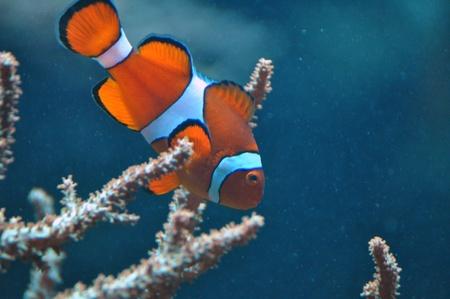 Anemone fish, clown fish Stock Photo - 18751866
