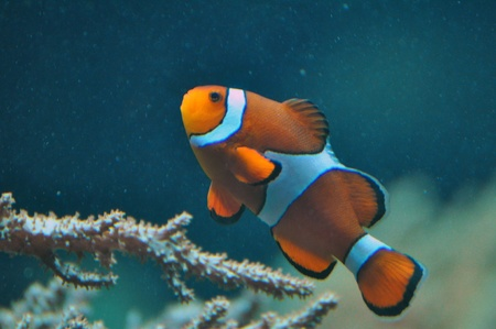 Anemone fish, clown fish Stock Photo - 18751860